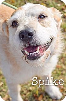Terrier (Unknown Type, Medium)/Australian Cattle Dog Mix Dog for adoption in DFW, Texas - Spike
