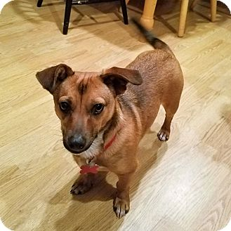 Dachshund Mix Dog for adoption in Oakley, California - Sam