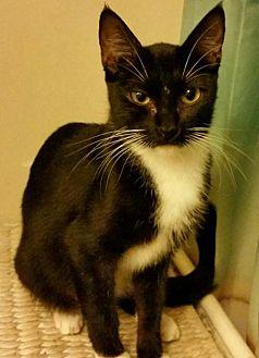 Domestic Mediumhair Cat for adoption in Cherry Valley, California - Bianca