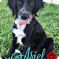 Adopt A Pet :: Ariel - Bradenton, FL