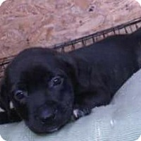 Labrador Retriever/American Staffordshire Terrier Mix Puppy for adoption in Dana Point, California - June