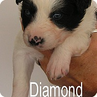 Adopt A Pet :: Diamond - Normandy, TN