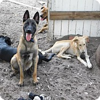 Belgian Malinois Dog for adoption in Tampa, Florida - DALLAS (TH)