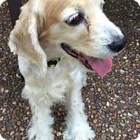 Adopt A Pet :: Hailey - Sugarland, TX