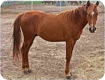 Pony - of America Mix for adoption in Bryan, Texas - Napolean