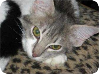 Domestic Mediumhair Cat for adoption in Phoenix, Arizona - Misty