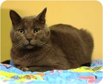 Russian Blue Cat for adoption in Ocean City, New Jersey - Castle