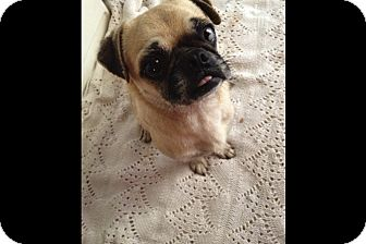 Pug Dog for adoption in Anaheim, California - T Bone