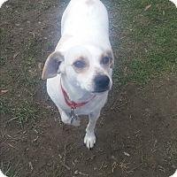Adopt A Pet :: Bella - New Windsor, NY