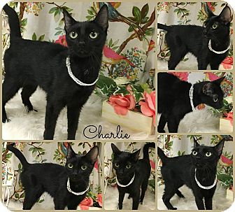 Domestic Shorthair Cat for adoption in Joliet, Illinois - Charlie