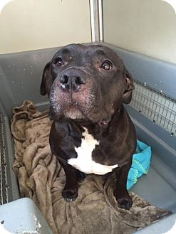 Staffordshire Bull Terrier Dog for adoption in Westminster, California - Luna