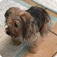 Adopt A Pet :: Yorki - Homer Glen, IL
