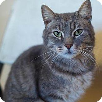 Domestic Shorthair Cat for adoption in Decatur, Georgia - CALVIN