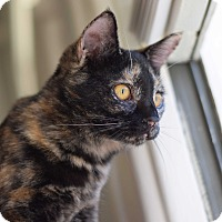 Domestic Shorthair Cat for adoption in Virginia Beach, Virginia - Olive