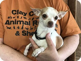Chihuahua Dog for adoption in Louisville, Illinois - Taco