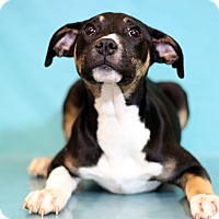 Adopt A Pet :: Dorian - Waldorf, MD