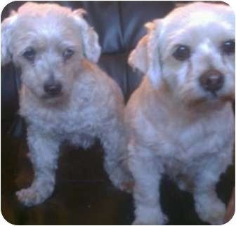 Poodle (Miniature) Mix Dog for adoption in Lake Forest, California - Penelope (left)
