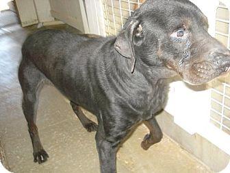 Labrador Retriever/Hound (Unknown Type) Mix Dog for adoption in Windsor, Missouri - Bear