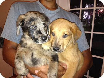 Australian Shepherd/Labrador Retriever Mix Puppy for adoption in Dumfries, Virginia - Stevy