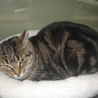 Domestic Shorthair Cat for adoption in Auburn, California - Lily