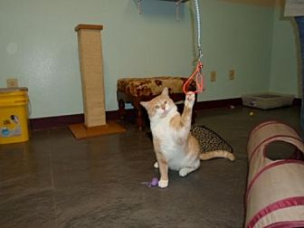 Domestic Shorthair Cat for adoption in Montello, Wisconsin - **Tom