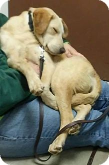 Labrador Retriever Mix Dog for adoption in Middletown, Ohio - Chip