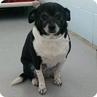 Adopt A Pet :: Hannah - Muskegon, MI