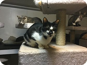 American Shorthair Cat for adoption in Medford, New York - Moo