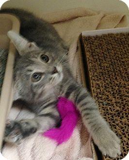 Domestic Shorthair Kitten for adoption in Putnam Hall, Florida - Satin