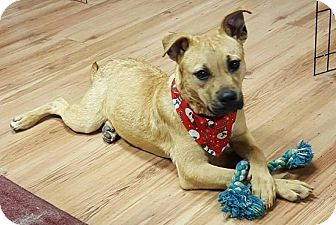 Black Mouth Cur/Labrador Retriever Mix Puppy for adoption in Auburn, Massachusetts - Trixie