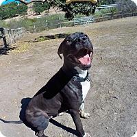 Adopt A Pet :: Stetson - Los Olivos, CA