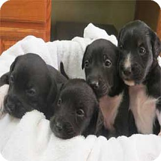 Border Collie Mix Puppy for adoption in Warren, Pennsylvania - Puppies