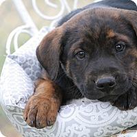 Adopt A Pet :: Apollo - Monroe, NC