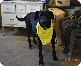 Great Dane/Labrador Retriever Mix Dog for adoption in Walthill, Nebraska - Princess