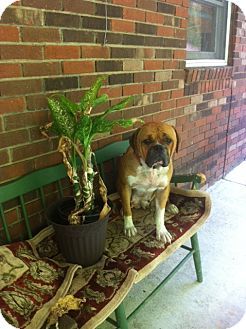 American Bulldog Dog for adoption in Hazard, Kentucky - Dixie