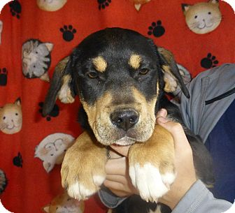Mastiff/Rottweiler Mix Puppy for adoption in Oviedo, Florida - Maggie