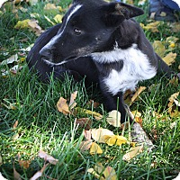 Adopt A Pet :: Bogey - Broomfield, CO