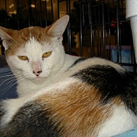 Calico Cat for adoption in Chino, California - xena
