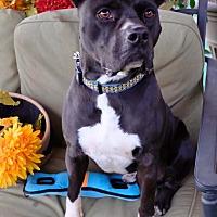 American Staffordshire Terrier Mix Dog for adoption in Toluca Lake, California - Trevor