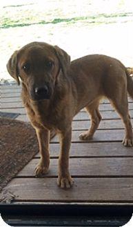 Labrador Retriever/Terrier (Unknown Type, Medium) Mix Puppy for adoption in Stewart, Tennessee - Sadie