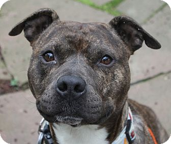 American Staffordshire Terrier/Terrier (Unknown Type, Medium) Mix Dog for adoption in North Olmsted, Ohio - AJ - Courtesy Post