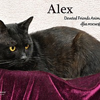 Domestic Shorthair Cat for adoption in Ortonville, Michigan - Alex