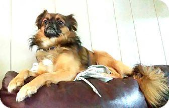 Pomeranian/Pekingese Mix Dog for adoption in Saint Clair Shores, Michigan - Moose