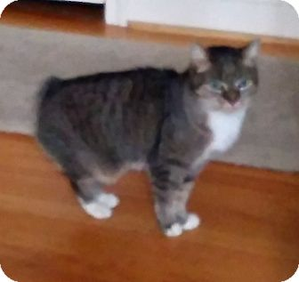 Manx Cat for adoption in Columbia, Maryland - PocKit_Courtesy Post