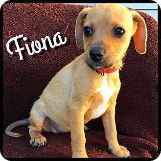 Dachshund/Terrier (Unknown Type, Small) Mix Puppy for adoption in Boulder, Colorado - Fiona