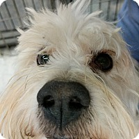 Adopt A Pet :: Blossom - Las Vegas, NV