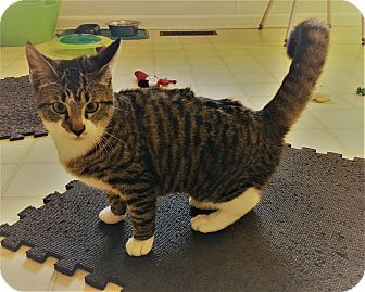 American Shorthair Kitten for adoption in Burgaw, North Carolina - Tia
