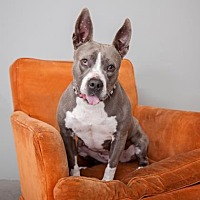 American Staffordshire Terrier Mix Dog for adoption in Mission Hills, California - Layla