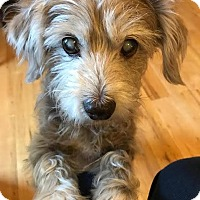 Schnauzer (Miniature)/Terrier (Unknown Type, Medium) Mix Dog for adoption in Seymour, Connecticut - Russell:adoption pending