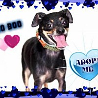 Adopt A Pet :: Boo Boo - Middletown, NY